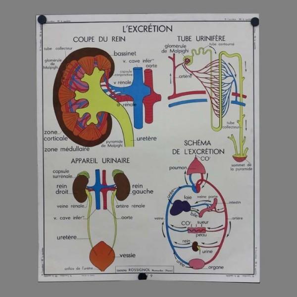 Vintage human anatomy...