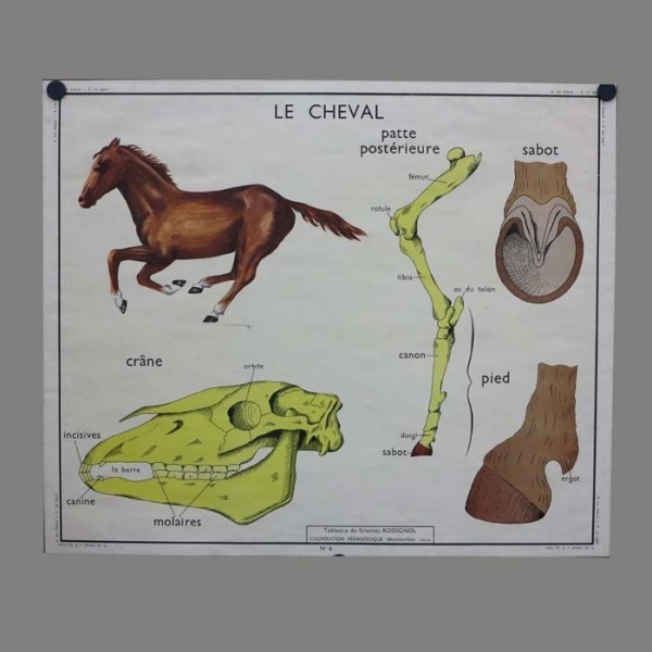Vintage animal anatomy...